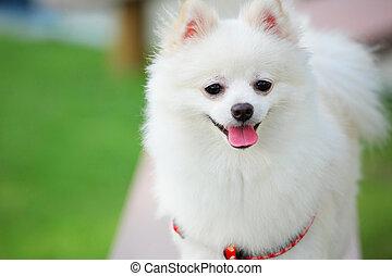 weißer hund, pomeranian
