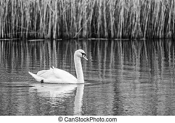 weißer schwan, schwarz, schwimmender