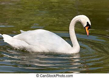 weißer schwan, wasser