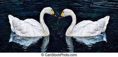 weißer schwan, zwei