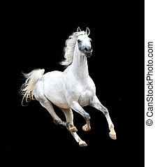 weißes, arabisches pferd, freigestellt, auf, schwarzer hintergrund