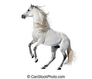 weißes, aufbäumen, andalusian, hengst, freigestellt, weiß