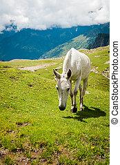 weißes, berg, pferd, weide