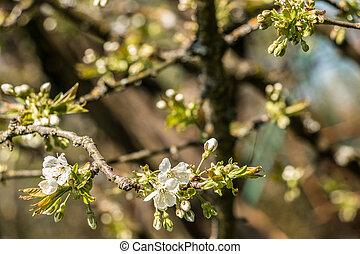 weißes, blüten, auf, a, baum, auf, der, grünes feld