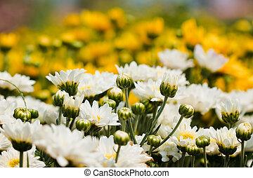 weißes, chrysanthemen, blumen