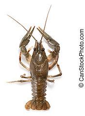 weißes, crayfish, freigestellt, lebend