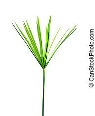 weißes, cyperus, grün, ausschnitt, hintergrund, pflanze, ...