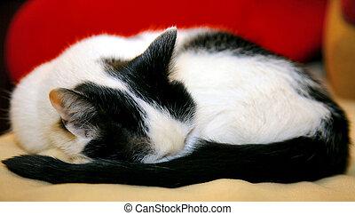 weißes, eingeschlafen, schwarze katze