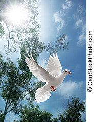 weißes, fliegendes, taube