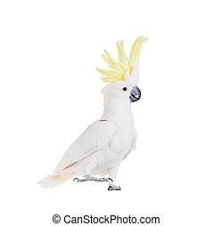 weißes, freigestellt, kakadu, schwefel-crested