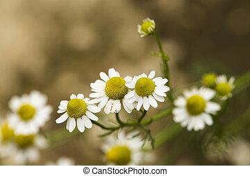 weißes, gänseblümchen, blühen, auf, feld