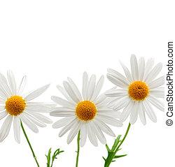 weißes, gänseblümchen, hintergrund