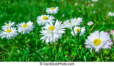 weißes, gänseblümchen, in, grünes gras