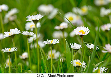 weißes, gänseblümchen, meadow.