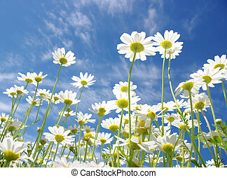 weißes, gänseblümchen