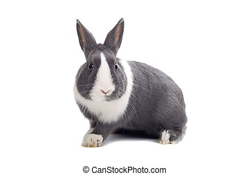 weißes, graues kaninchen