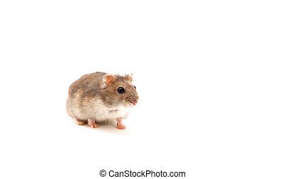 weißes, hamster, freigestellt, junger