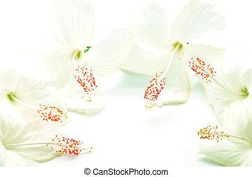 weißes, hibiskus