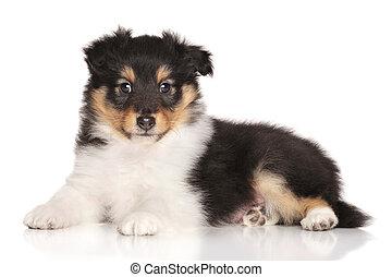 weißes, junger Hund, Liegen, hintergrund,  sheltie