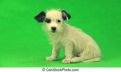 weißes, junger hund