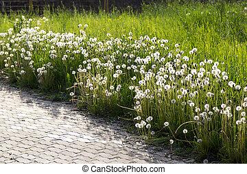weißes, löwenzahn, blüte, entlang, straße