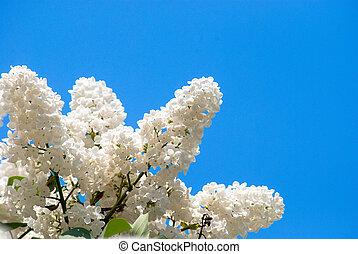 weißes, lila, in, blauer himmel