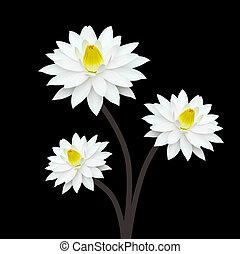weißes, lotos, auf, schwarzer hintergrund