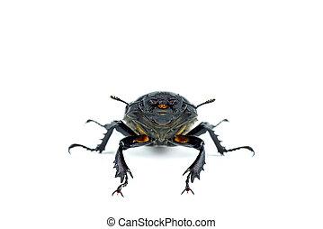weißes, lucanus, freigestellt, weibliche , cervus, hintergrund, käfer, rehbock