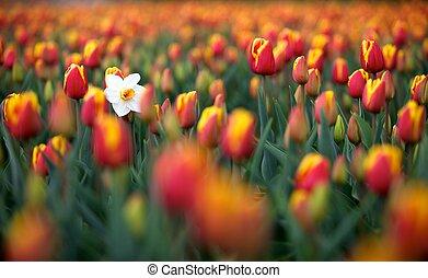 weißes, narzisse, in, a, feld, von, tulpenblüte