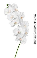 weißes, orchidee