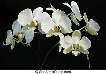 weißes, orchideen, auf, schwarzer hintergrund