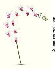 weißes, orchideen, zweig