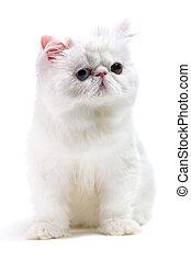 weißes, persische katze