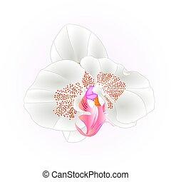 weißes, phalaenopsis, closeup, orchidee, vector.eps