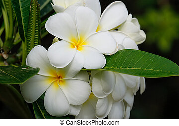 weißes, plumeria, blumen