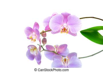 weißes, reflexion, hintergrund, orchidee