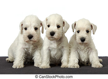 weißes, schnauzer, hundebabys