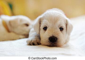 weißes, schnauzer, junger hund