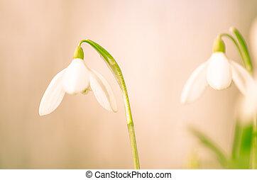 weißes, schneeglöckchen