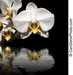 weißes, schwarzer hintergrund, orchidee