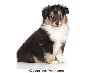 weißes,  sheltie, junger Hund, hintergrund