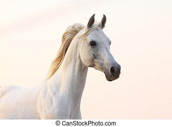 weißes, sonnenuntergang, pferd