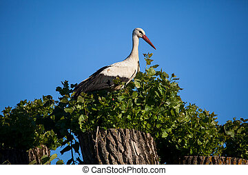 weißes, storch, (ciconia, ciconia)
