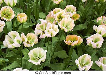 weißes, tulpen, in, keukenhof, blumengarten, kühl, fruehjahr, tag, niederlande