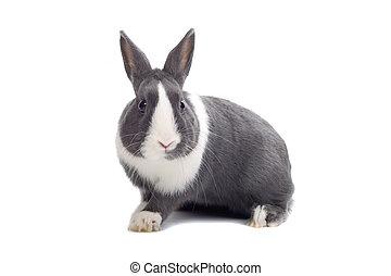 weißes, und, graues kaninchen