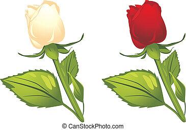 weißes, und, rote rosen