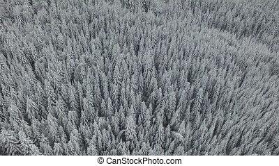 weißes, verschneiter , kiefernwald