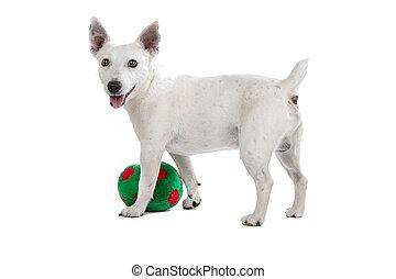 weißes, wagenheber, russel, terrier