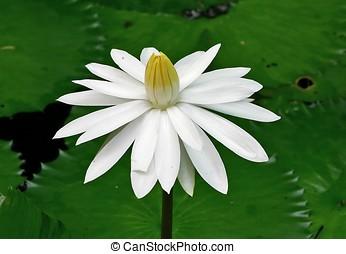 weißes, waterlily
