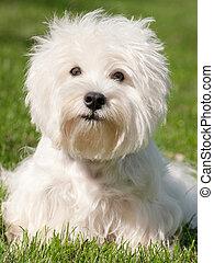 weißes, west hochland terrier
